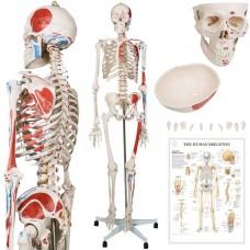 JAGO Anatómia človeka-kostra s detailmi maľby svalov, 181 cm
